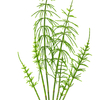 horsetail isolated on white background